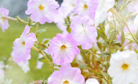 Pink and white Petunia blossoms in the garden under bright summer sunlight. Romantic floral background.