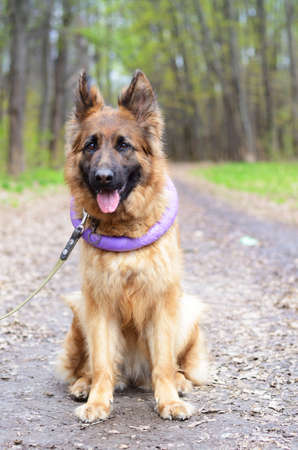 Portrait of Young Fluffy German Shepherd Dog in the Forest. Walks With a Pets Outdoor. Stock Photo