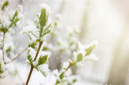 Unexpected snow in april month. Branch with young green leaves covered by spring snow. Stock Photo