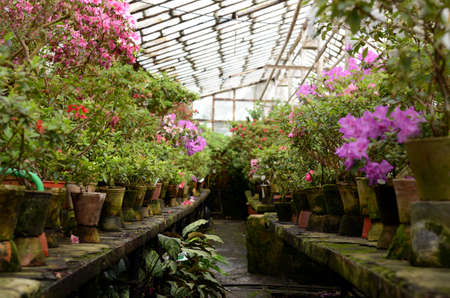 Rhododendron flowers and tropical plants growing in a vintage greenhouse. Stock Photo