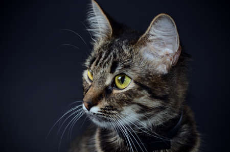 Portrait of a beautiful adopted gray cat on a blak background. Low key photo
