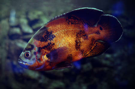 astronotus: Oscar Fish in dark aquarium water. South America river fish Astronotus ocellatus.