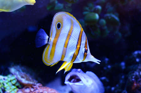 Copperband Butterflyfish, Chelmon rostratus, coral reef fish in a dark blue water. Stock Photo