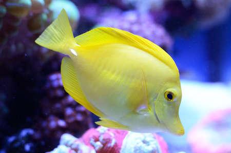 Zebrasoma, yellow surgeonfish. Bright coral reef fish in salt water aquarium.