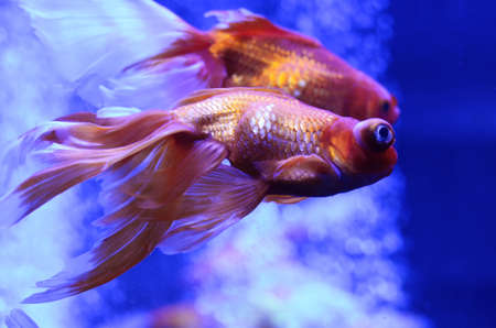 Bright freshwater aquarium background with gold fishes and bubbles Stock Photo