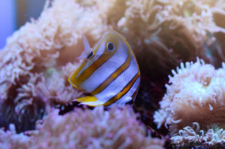 chaetodontidae: Copperband Butterflyfish, Chelmon rostratus, coral reef fish in among sea anemones in a dark blue water