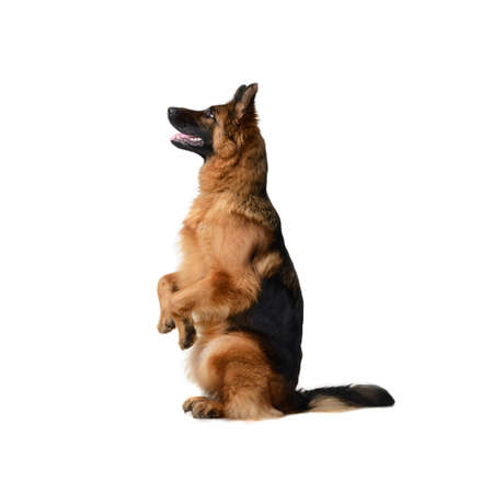 Portrait of a Young German Shepherd Dog Standing on its hind legs against white background.