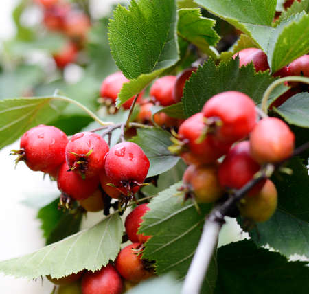 laevigata: Hawthorn red berries with briht green leaves on a tree branch. Autumn season backdrop.