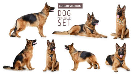 hounds: Set of Portraits of Fluffy German Shepherd Dog.