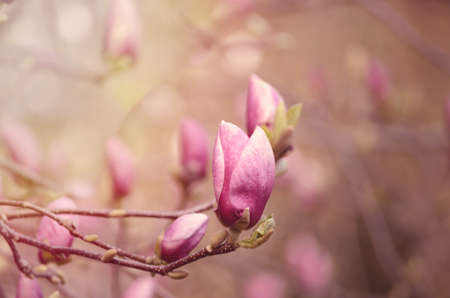 Close up picture of Magnolia flowers blooming in a spring. Hipster filtered square photo with beautiful bokeh background. Stock Photo