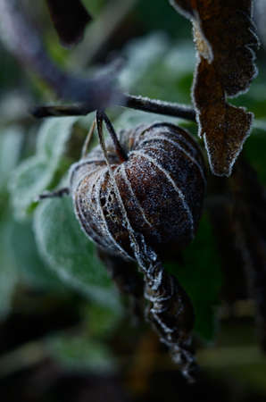 Cape gooseberry physalis. Frozen Dry brown autumn flower. Early winter background with plants in the hoar frost