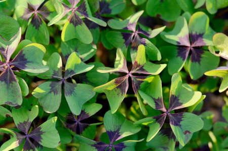 horticultural: Oxalis tetraphylla, Oxalis Deppei. False Four - Leaved Clover, Happy CLover. Top View Abstract Natural background.