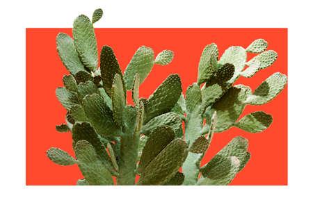 Huge Opuntia cactus. Creative layout. Minimal style still life.