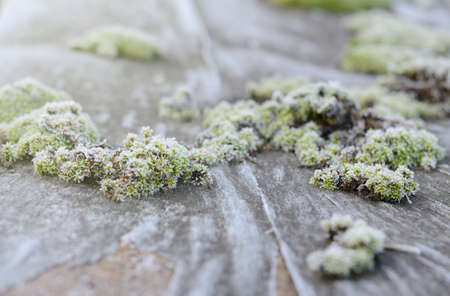Bright green moss in a frost. Fall winter natural background