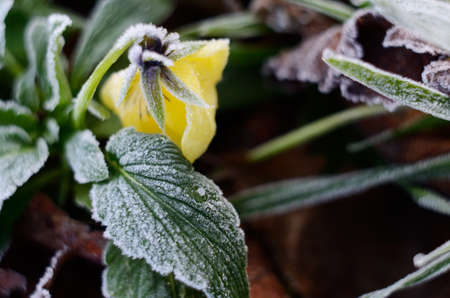 Pansy flower under the morning frost. Fall winter natural background Stock Photo