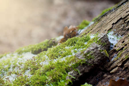Bright green moss n a stump in winter forest. Fall winter natural background Stock Photo