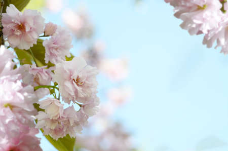 Romantic gift card background with sakura blossoms in a spring. Beautiful gentle pink flowers under sunlight