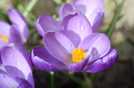 Beautiful first spring flowers crocuses bloom under bright sunlight.