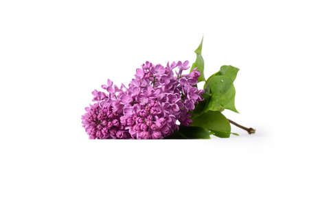 Lilac blooming branch isolated on white background Stock Photo