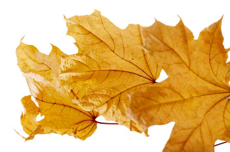 Bright yellow autumn leaves against white background. Fall seasonal background Stock Photo