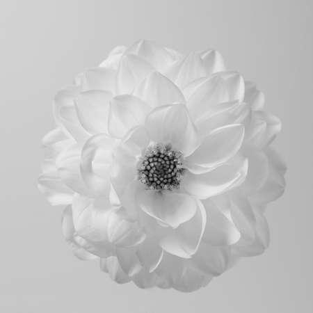 White airy dahlia flower against white background.