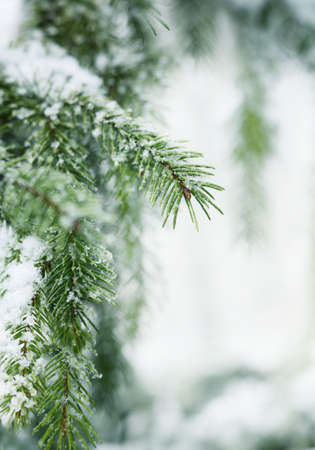 Christmas, Winter Background With Frosty Pine Tree. Holiday Seasonal Backdrop for Greeting Card or Poster Design