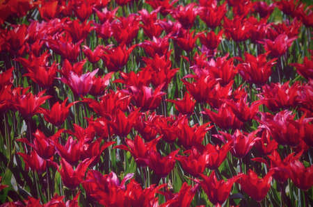 Colorful sunny field of tulips. Springtime seasonal floral background. Vintage toned photo. Trendy hipster background.