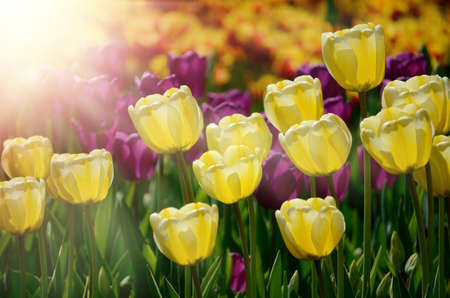 Colorful sunny field of tulips. Springtime seasonal floral background