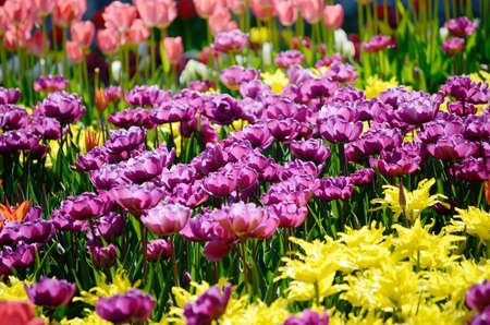 Sunny field of ultraviolet tulips. Springtime seasonal floral background