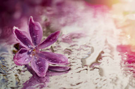 Macro photo of lilac flower under dew drops. Beautiful floral background