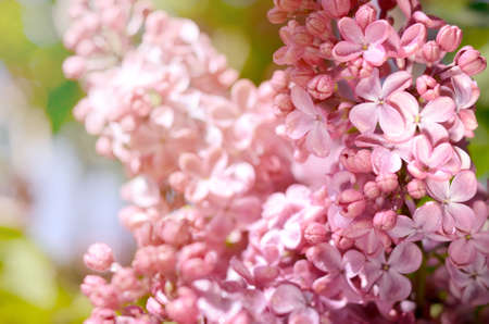 Close-up photo of beautiful Lilac flowers. Purple spring flowers. Floral seasonal background.