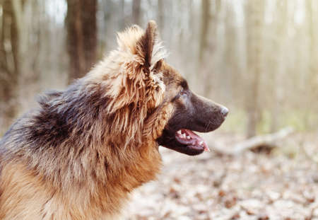 Portrait of a beautiful Young Fluffy German Shepherd Dog in the Forest. Walks With a Pets Outdoor. Stock Photo