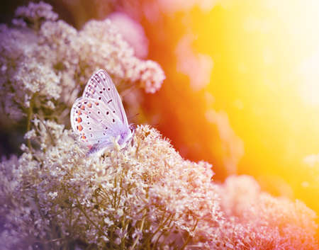 Beautiful small Blue butterfly, Polyommatus icarus, on a wild meadow. Romantic Summer season background with sunlight filter effect