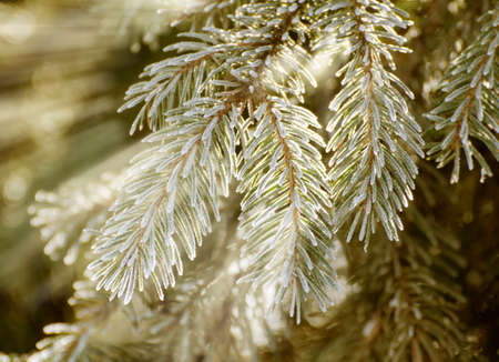 Christmas, winter background with frosty thuja tree. Macro shot