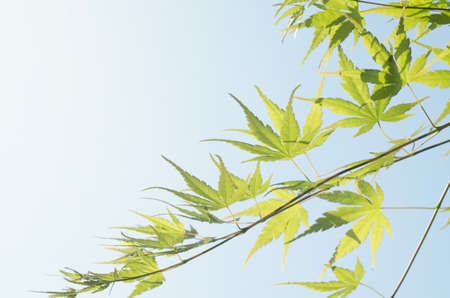 Green leaf of Japanese maple. Summer time background