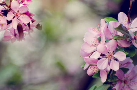 Pink flowers of apple tree against blurred bokeh background. Romantic floral template. Stock Photo