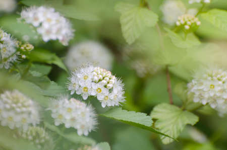 Soft focused close up picture of White Spirea, Bush of Thunbergii or Thunbergii Meadowsweet. Beautiful Floral Background. Stock Photo