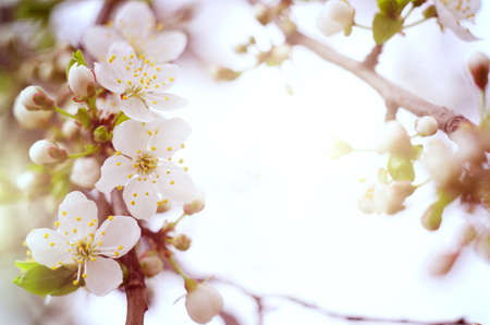 Cherry tree blossoms. White spring flowers close-up. Soft focus spring seasonal background. Stock Photo