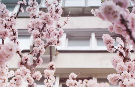 Beautiful pink flowers of apricot tree in front of houses windows.