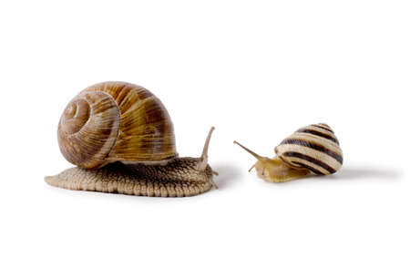 Burgundy snail, and small Snail, Helix pomatia, edible mollusk. Snails isolated against white Background. Stock Photo