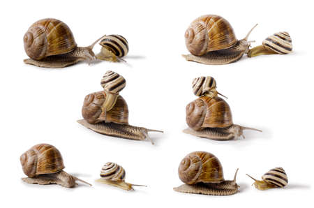 set of Burgundy snail, and small Snail, Helix pomatia, edible mollusk. Snails isolated against white Background. Stock Photo