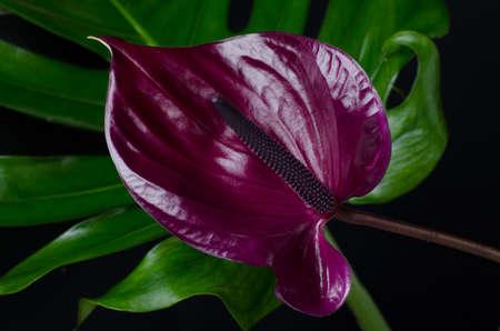 Dark red anthurium against dark background. Tropical plant in a minimalist style