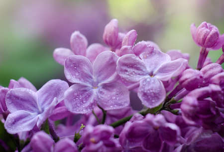 Close up picture of bright violet lilac flowers. Abstract romantic floral background.