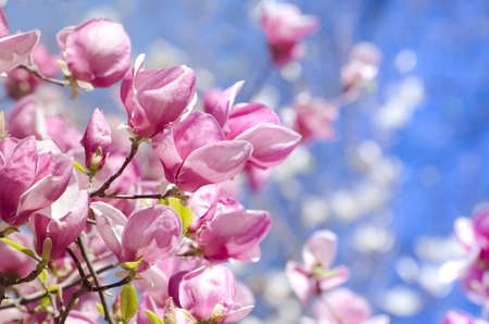 Beautiful magnolia tree blossoms in springtime. Bright magnolia flower against blue sky. Romantic floral backdrop 版權商用圖片