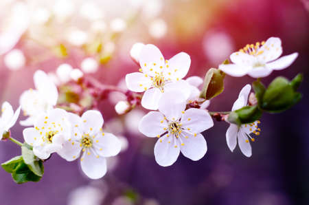 Cherry tree blossoms. White spring flowers close-up. Soft focus spring seasonal background. 版權商用圖片