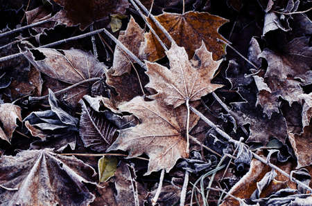 Frosted dry autumn leaves. Early winter nature background.