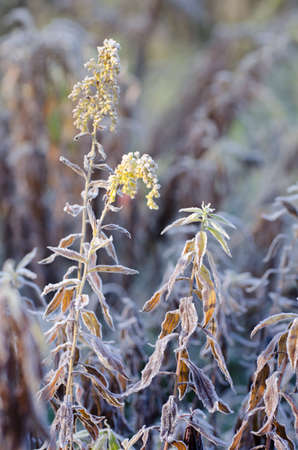 Dry goldenrod flowers in a frosty field