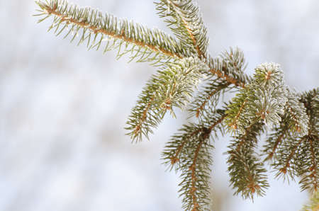 Christmas, Winter Background With Frosty Pine Tree. Seasonal Backdrop for Greeting Card or Poster Design