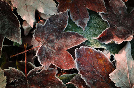 Frosted dry autumn leaves. Maple leaves covered by early morning frost