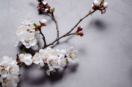 Spring flowers with branches blossoming apricots on grey background. Flat lay concept. Stock Photo